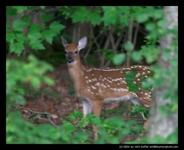 Curious-Deer-Large-Thumb-1