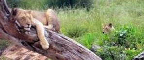 Lioninafrica